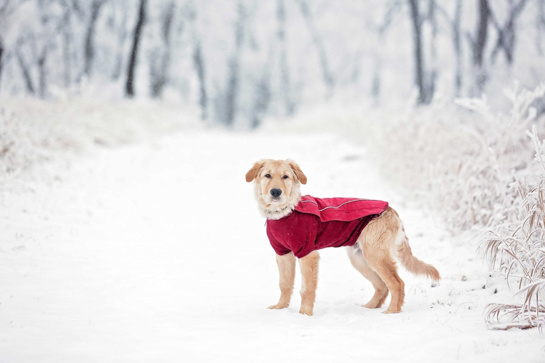 Dog wearing jacket to protect against winter cold weather